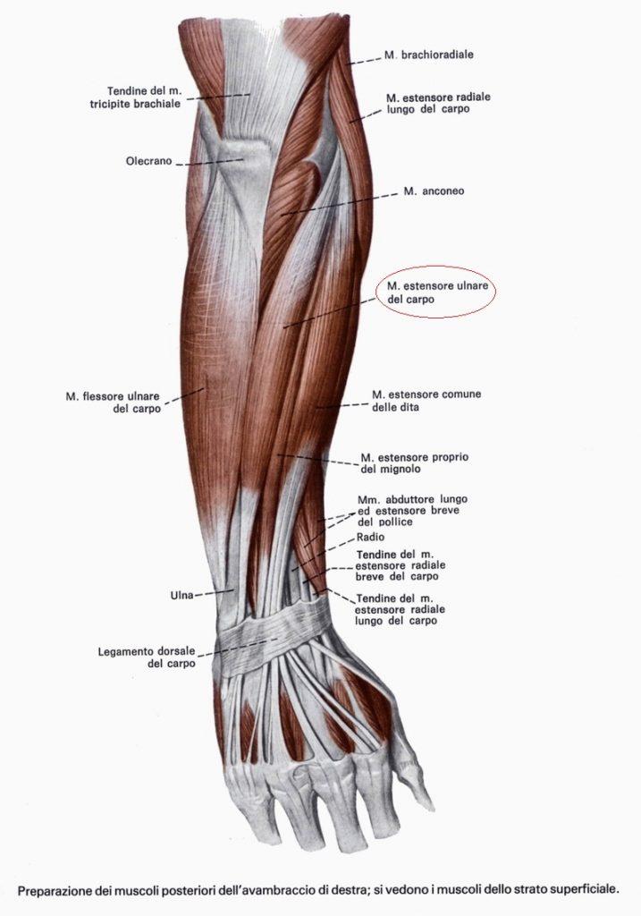 I diversi tipi di forza muscolare - Diversi tipi di trecce ...